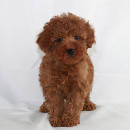 Red-Poodles-slideshow-photo
