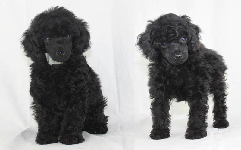 blackpoodleslider