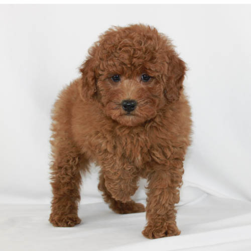 kristina-poodle-puppy