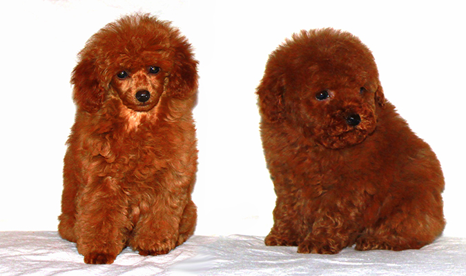 red toy poodles puppies for sale toy poodle breeder akc puppies for sale los angeles ca 6546