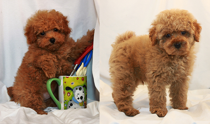 Toy Poodle Breeder Akc Puppies For Sale Los Angeles Ca