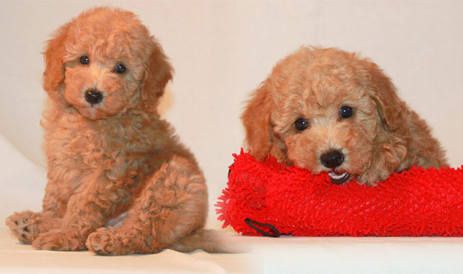 Red toy poodle pictures