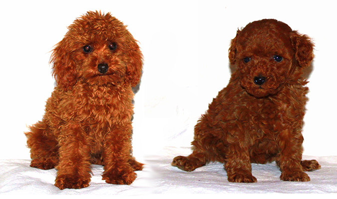 Toy poodle for sale 2013