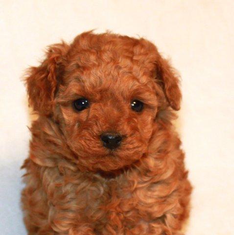 Miniature Amp Toy Poodle Breeder California Scarlet S