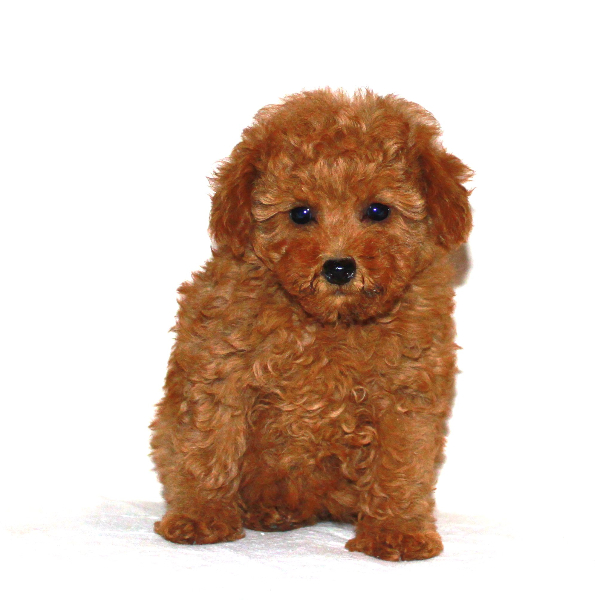 Watch How to Groom a Poodle video