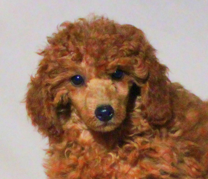 Teddy Bear Cut Grooming Styles for Poodles from Scarlet