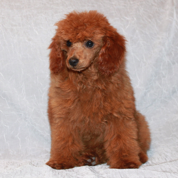 Teddy Bear Cut Grooming Styles For Poodles Scarlets