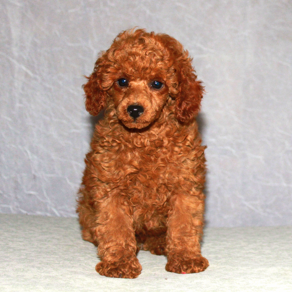 teddy bear cut grooming styles for poodles scarlets