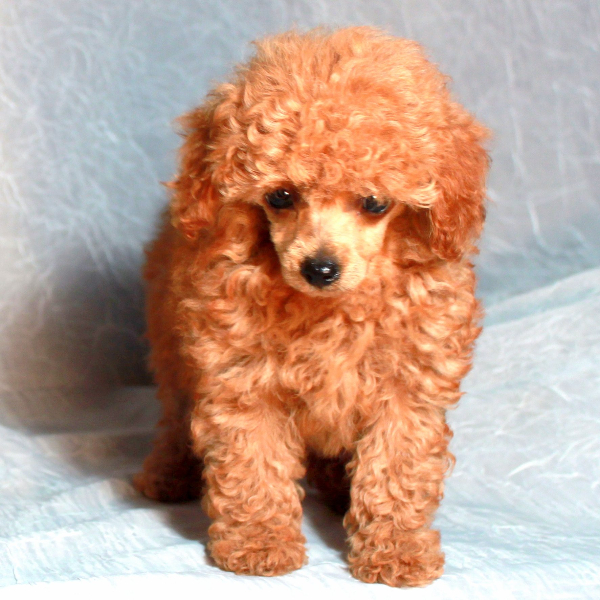 Teddy Bear Cut Grooming Styles For Poodles From Scarlet S Fancy Poodles