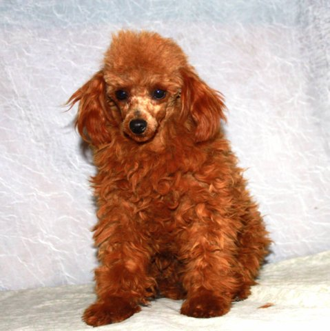 California Miniature Red Apricot Poodle Breeder