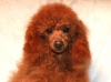 Red Miniature Poodle in California