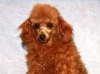 Miniature Poodle Breeder in California