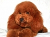 Miniature Poodle from Breeder in California