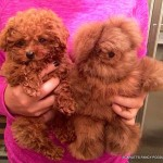 Red Teacup Poodle Puppies for Sale