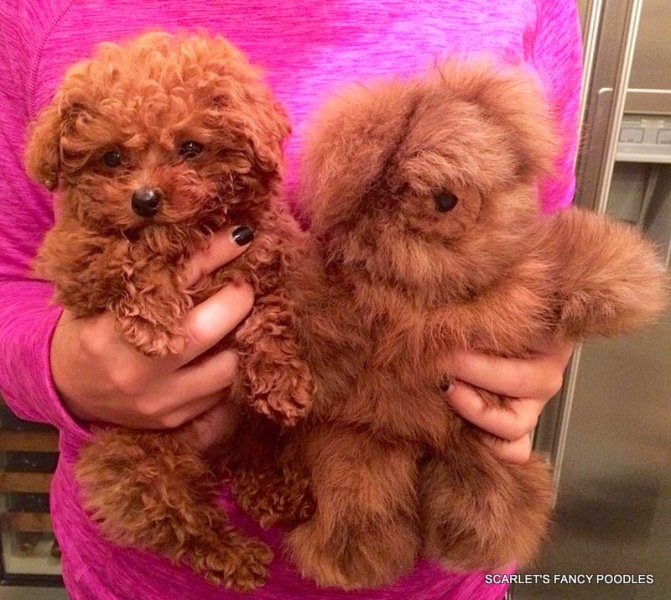 Teddy Bear Poodle Puppies