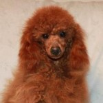 Sire - Aflame's FlashPoint of Sherfame.  