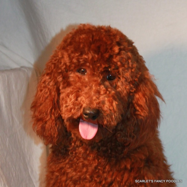 Purebred Toy & Miniature Poodles- Dog Breed Information