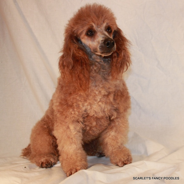 Male Poodles For Sale
