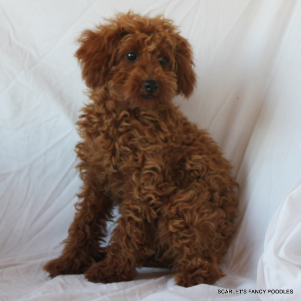 Puppy From Miniature Poodle Breeder