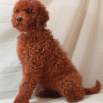 Red Moyen Poodles For Sale