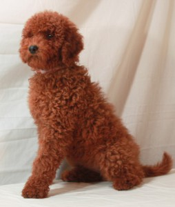 Red Poodle Puppies Moyen Poodles Scarlets Fancy Poodles