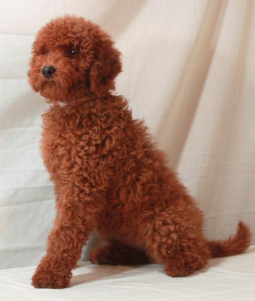 Toy poodle breeders utah