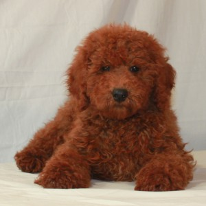 Red Moyen Poodle Lying Down