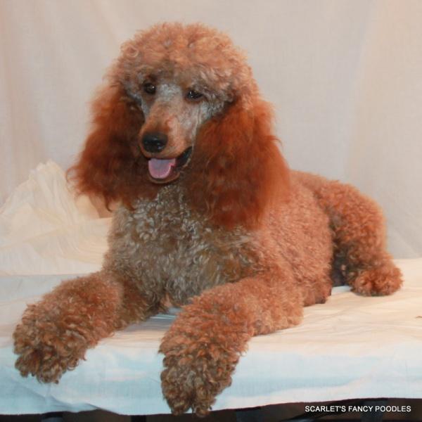 Red Poodle Puppies & Moyen Poodles | Scarlet's Fancy Poodles