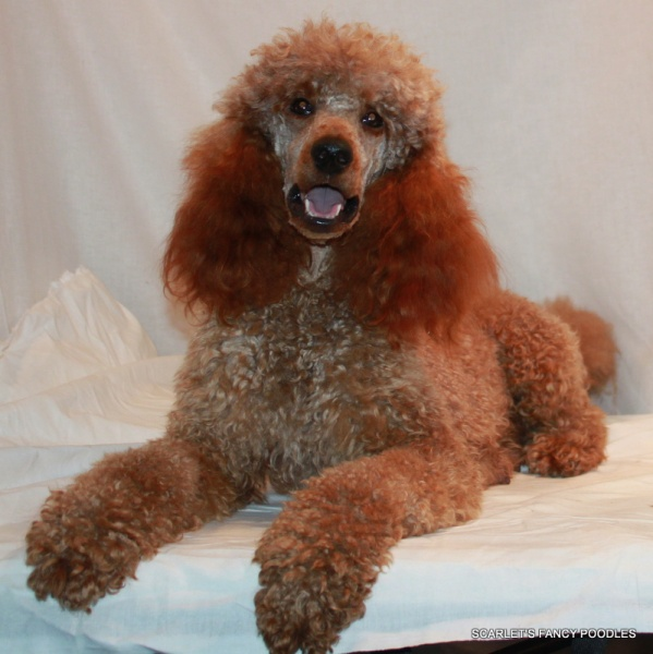 Red Poodle Puppies & Moyen Poodles | Scarlet's Fancy Poodles
