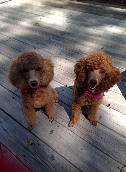 Red Mini Poodles Outside