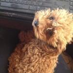 Scarlet's Fancy Poodle