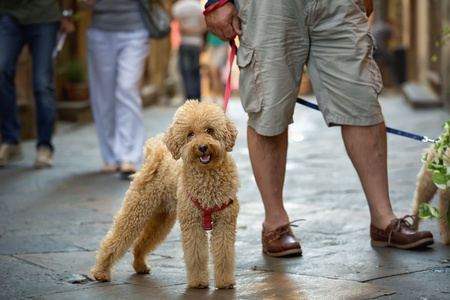 Poodle on a Leash