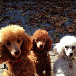 Red and White Poodles