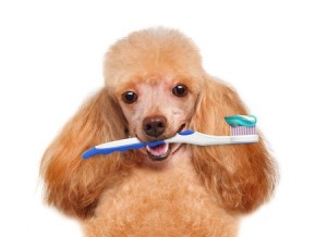 poodle with a toothbrush