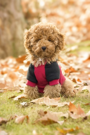 poodle puppy in fall leaves