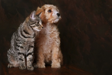 apricot poodle puppy with a kitten