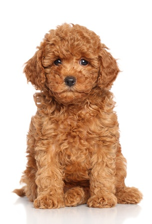 Essential Skills To Teach Your Puppy Scarlets Fancy Poodles