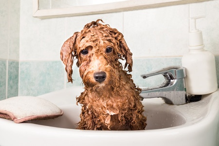 Tips For Giving Your Poodle A Bath Scarlet S Fancy Poodles
