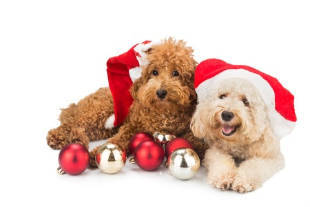 Poodles dressed for Christmas
