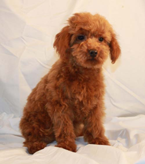 how to puppy proof your house scarlet s fancy poodles