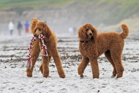 Caring for Your Aging Poodle