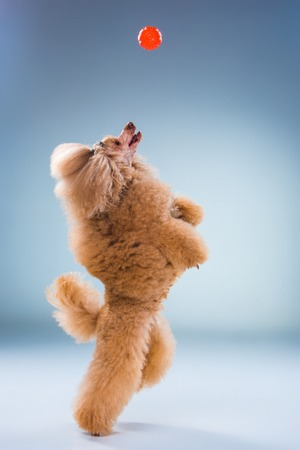 """Why Toy Poodles are the """"Thinking"""" Breed"""