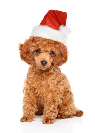 Holiday Foods to Avoid Feeding Your Red Poodle