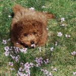 Toy Poodle Lying in the Grass