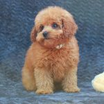 Apricot Poodle for Sale