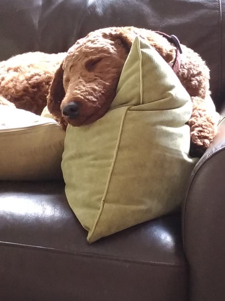 Sleeping Red Poodle on Pillow