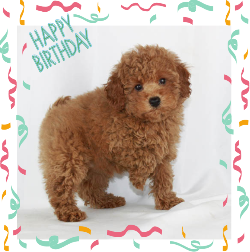 Celebrating Your Poodle on their Birthday