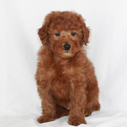Available Puppies Red And Apricot Poodles Scarlets Fancy Poodles