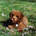 Red Miniature Poodle