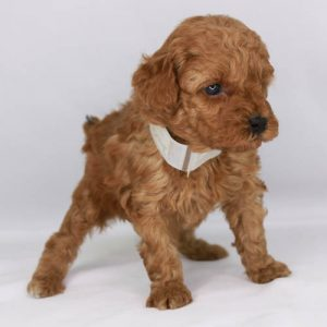 Available Puppies Apricot And Red Poodles Scarlets Fancy